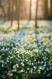 Sunlit forest full of snowdrop flowers in spring season Royalty Free Stock Images