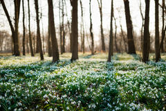 Sunlit forest full of snowdrop flowers in spring season Stock Images