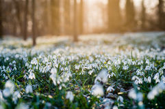 Sunlit forest full of snowdrop flowers in spring season Stock Image
