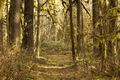Sunlit Forest Path Historic Santiam Wagon Road Royalty Free Stock Image