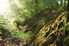 Sunlit forest, Poland. Sunlit mossy forest floor in Poland Royalty Free Stock Photo
