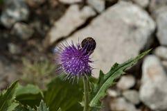 Sunlit glade горы и thistle или одичалый фиолетовый конец цветка вверх на экологической прогулке к пику Maliovitza в горе Rila Стоковые Изображения RF