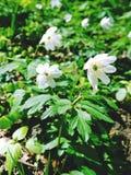 White Sunlit Globe Flower Royalty Free Stock Photography