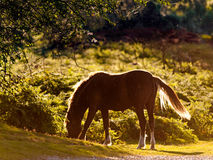 Sunlit Grace. A pony in the sunlight near Godshill in the New Forest National Park Royalty Free Stock Photo