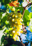 Sunlit grapes. White wine grapes hang from an old vine Stock Photos