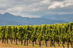 Sunlit grapevine rows in vineyard Royalty Free Stock Photography