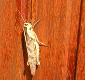 Sunlit grasshopper Stock Photos