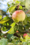 Sunlit green apples on a tree Stock Photo