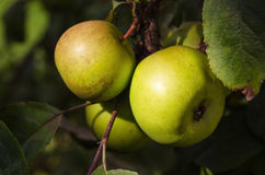 Sunlit green apples on a tree Royalty Free Stock Photo