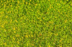 Sunlit green grass with yellow flowers background. Sunlit meadow with green grass and yellow flowers background/texture, shallow depth of field stock images
