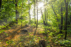 Sunlit green trees, summer forest. Shadows, rays of light Stock Images