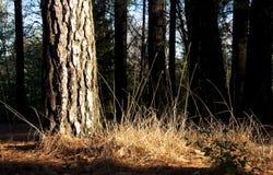 sunlit guld- gräs för skog Royaltyfria Bilder