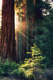 Sunlit from Heaven. Early morning sunlight in the Sequoias of Mariposa Grove, Yosemite National Park, California, USA. Rays of sun hightlight a young tree royalty free stock photos