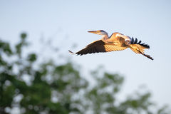 Sunlit Heron In Flight Stock Photography