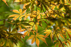 Sunlit Japanese maple leaves Royalty Free Stock Photos