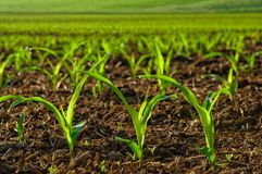 Sunlit junge Maispflanzen Stockbilder