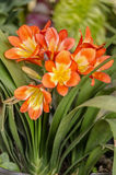 Sunlit Kafir Lillies in a garden Stock Photography