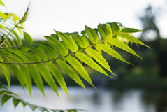 Sunlit leaf against the blurred park. Royalty Free Stock Image