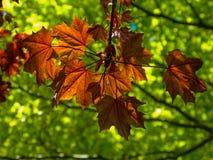 Sunlit leaves Stock Image