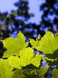 Sunlit leaves. Leaves backlit with sunshine Stock Photography