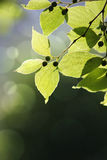 Sunlit leaves on blurred background Stock Image