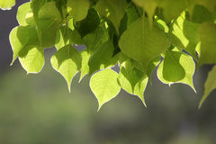 Sunlit leaves on blurred background Stock Images