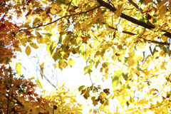 Sunlit leaves Stock Images