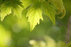 Sunlit leaves of sycamore as natural background Royalty Free Stock Photography