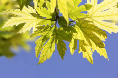 Sunlit leaves of sycamore Royalty Free Stock Image