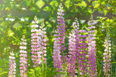Sunlit Lupins Royalty Free Stock Photos