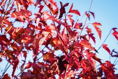 Maple with bright red leaves. Sunlit maple with bright red leaves in autumn on a blue sky background royalty free stock photography