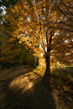 Sunlit maple and gravel road Royalty Free Stock Photography