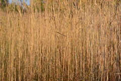 Sunlit marshland reed field Stock Images