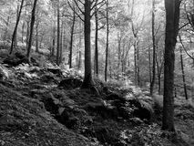 Sunlit monochrome woodland in early autumn. With mixed forest trees on a rocky fern strewn hillside Stock Image