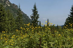 Sunlit mountain top overgrown with coniferous forest, glade  and  Arnica  or wild yellow flower on the ecological walk. Toward Maliovitza peak in Rila mountain Royalty Free Stock Images