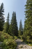 Sunlit mountain top overgrown with coniferous forest and glade on the ecological walk toward   Maliovitza peak in Rila mountain. Sunlit mountain top overgrown Royalty Free Stock Photo