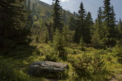 Sunlit mountain top overgrown with coniferous forest and glade on the ecological walk toward   Maliovitza peak in Rila mountain. Sunlit mountain top overgrown Royalty Free Stock Photos