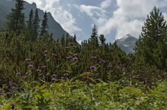 Sunlit mountain top overgrown with coniferous forest, glade  and thistle or wild purple flower on the ecological walk. Toward Maliovitza peak in Rila mountain Stock Photography
