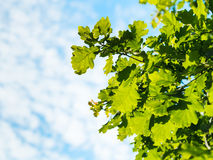 Sunlit oak foliage and blue sky with white clouds Royalty Free Stock Photos