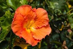 Sunlit orange hibiscus flower Stock Photo