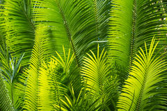 Sunlit palm leaves. Closeup of sunlit palm leaves Stock Photo