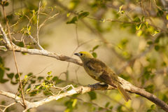 Sunlit Palm Tanager on Branch Stock Photos