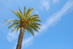Sunlit Palm Tree. With blue sky background Stock Image