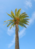 Sunlit Palm Tree. With blue sky background Stock Photography