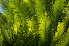 Sunlit palm tree fronds Royalty Free Stock Photography