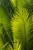 Sunlit palm tree leaves Royalty Free Stock Photo