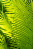 Sunlit palm tree leaves. Closeup of sunlit palm tree leaves Royalty Free Stock Photo