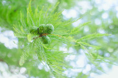 Sunlit pastel cypress branch with lush foliage and green cones Stock Photos