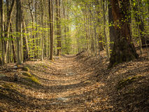 Sunlit Path Through Spring Forest Royalty Free Stock Photo