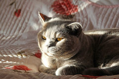 Sunlit pedigree cat Stock Images